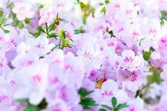 Le ressort rose fleurit l'azalée Photos libres de droits