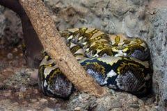 Le reticulatus de python de python réticulé image stock