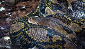 Le reticulatus de python de python réticulé a lové  photo libre de droits
