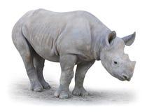 Le rhinocéros blanc du nord (cottoni de simum de Ceratotherium). Image libre de droits