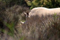 Le rhinocéros blanc ou le rhinocéros place-labié est les plus grandes espèces extant du rhinocéros Images stock