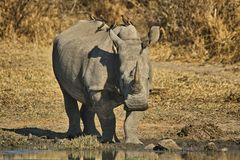 Le rhinocéros blanc ou rhinocéros place-labié (simum de Ceratotherium) Image stock