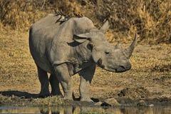 Le rhinocéros blanc ou rhinocéros place-labié (simum de Ceratotherium) Images libres de droits