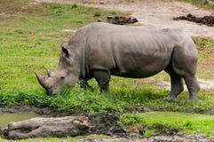 Le rhinocéros blanc (simum de Ceratotherium) Photo libre de droits