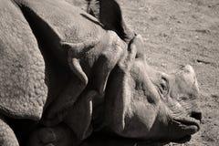 Le rhinocéros indien Photos stock