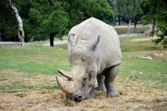 Le rhinocéros marche sur l'herbe verte lentement Images stock