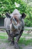 Le rhinocéros noir Image stock