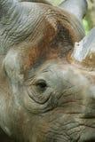 Le rhinocéros noir Photos libres de droits