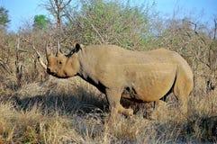 Le rhinocéros noir (bicornis de Diceros) Photographie stock libre de droits