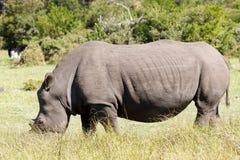 Le rhinocéros - Rhinocerotidae Image libre de droits