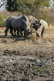 Le rhinocéros s'est blotti étroitement ensemble photographie stock