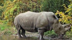 Le rhinocéros se tient dans le magma banque de vidéos