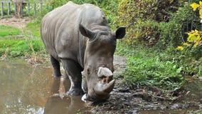 Le rhinocéros tient alors des mouvements banque de vidéos