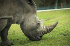 Le rhinocéros va sur la promenade de pré Photos libres de droits