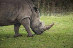 Le rhinocéros va sur la promenade de pré Photographie stock