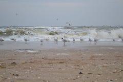 Le ridibundus principal noir de Larus de mouette et le canus commun de Larus de mouette près des vagues sur la Mer Noire marchent Photo libre de droits