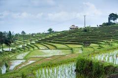 Le risaie di Jatiluwih. Fotografie Stock