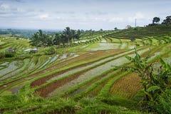 Le risaie di Jatiluwih. Immagine Stock