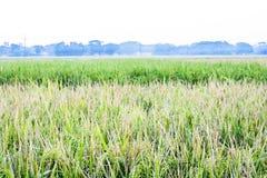 Le risaie verdi conterranno i colori dorati fotografie stock libere da diritti