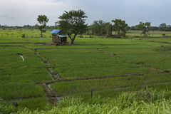 Le risaie verdi fertili si siedono accanto alla cisterna o al bacino idrico di Sigiriya a Sigiriya nello Sri Lanka Fotografia Stock Libera da Diritti