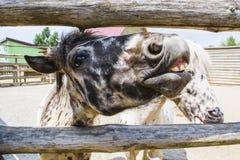 Le risate e le manifestazioni del cavallino i suoi denti immagine stock libera da diritti