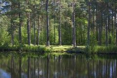 Le rivage du lac de forêt Réflexions des arbres sur l'eau Image libre de droits