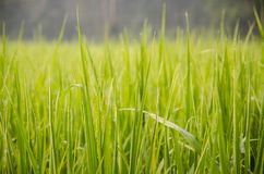Le riz images libres de droits