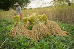 Le riz Images stock