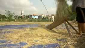 Le riz de battage d'agriculteur, bat le riz, agriculture de riz clips vidéos