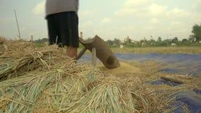 Le riz de battage d'agriculteur, bat le riz, agriculture de riz banque de vidéos