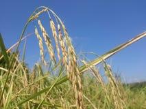 Le riz de la Thaïlande exporte une région à distance du monde Photos libres de droits