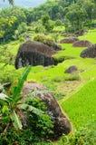 Le riz de terrasse met en place sur une île Sulawesi en Indonésie Photographie stock libre de droits