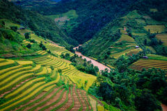 Le riz en terrasse d'or met en place en MU Cang Chai, Yen Bai, Vietnam Photos libres de droits