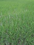 Le riz est la graine du riz asiatique sativa d'Africain de riz d'Oryza d'espèces d'herbe ou de glaberrima d'Oryza images stock