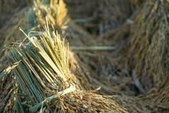 Le riz halète la rizière épis de grippage de blé image stock