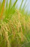 Le riz mûr dans les domaines Images stock