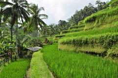 Le riz met en place dans Bali, Indonésie mangent prient le paysage exotique d'amour Photographie stock libre de droits