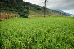 Le riz met en place dans la Chine du Nord, les contextes renversants d Y Photo libre de droits