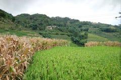 Le riz met en place dans la Chine du Nord, les contextes renversants d Y Images libres de droits