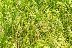 Le riz met en place la macro photo avec l'épi et la tige de riz Plan rapproché d'usine de riz Image libre de droits