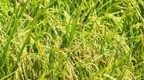 Le riz met en place la photo de plan rapproché avec l'épi et la tige de riz Plan rapproché d'usine de riz Photos libres de droits