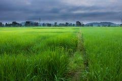 Le riz met en place la Thaïlande Photographie stock