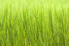 Le riz met en place le fond Images stock