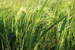 Le riz met en place le paysage de fond en automne ayutthaya Thaïlande Photos stock
