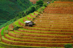 Le riz met en place sur en terrasse dans la saison rainny à la MU Cang Chai, Yen Bai, Vietnam Photo libre de droits