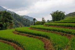 Le riz met en place le Vietnam Photo stock