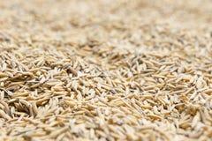 Le riz non-décortiqué, riz non-décortiqué a pour ne pas écosser  photographie stock libre de droits