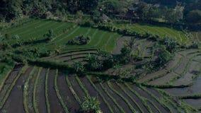Le riz vert met en place, engazonne, des palmiers, tirant de l'air mavic de bourdon d'avions pro, avance d'appareil-photo, Bali I banque de vidéos