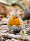 Le Robin Photo libre de droits