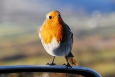 Le Robin européen Photographie stock